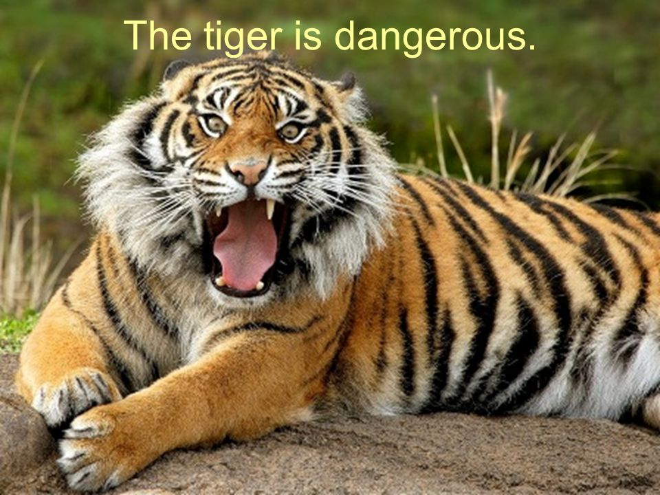 The tiger is dangerous.