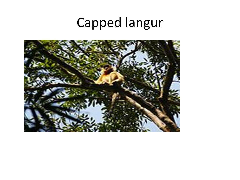 Capped langur