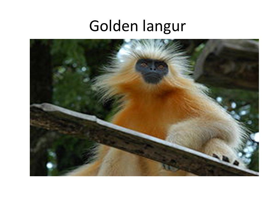 Golden langur