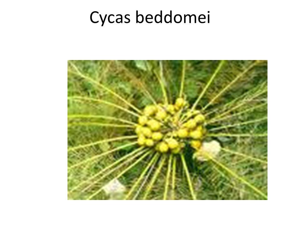 Cycas beddomei