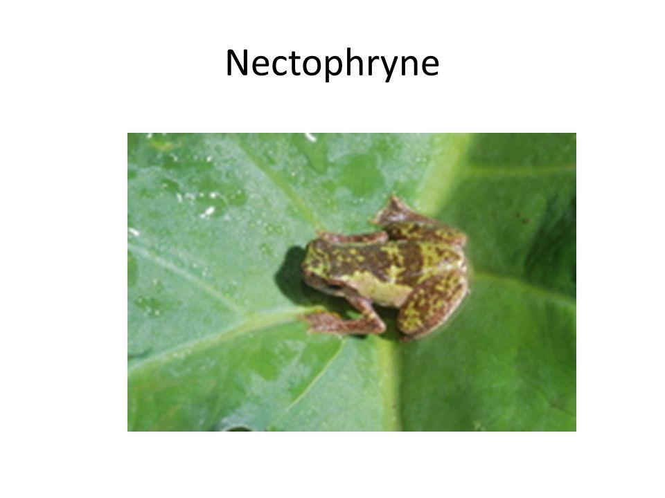 Nectophryne