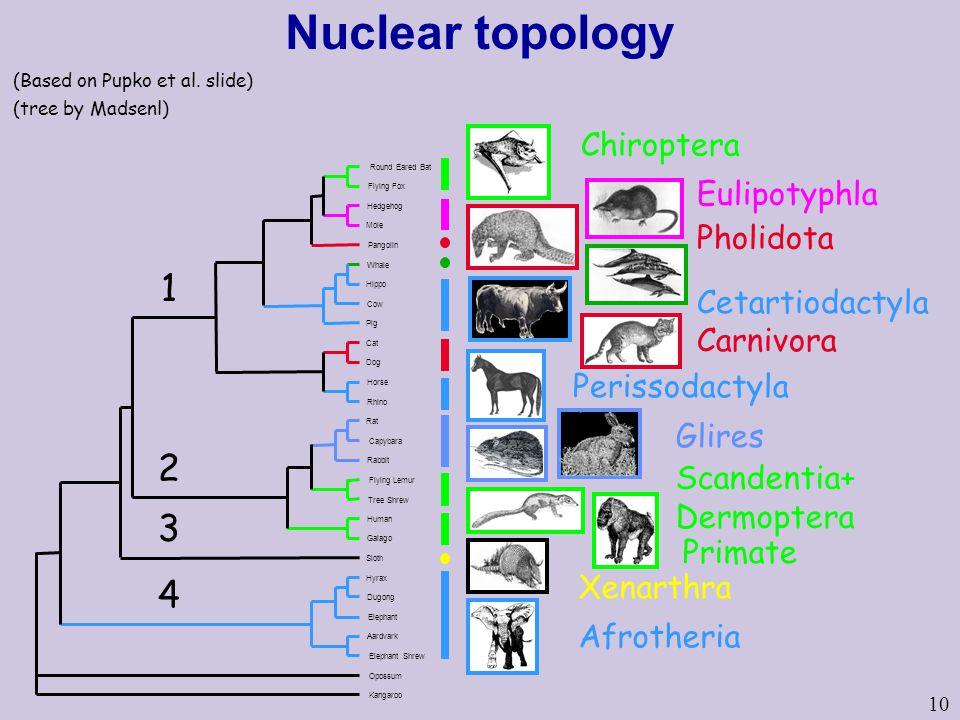 Nuclear topology 1 2 3 4 Chiroptera Eulipotyphla Pholidota