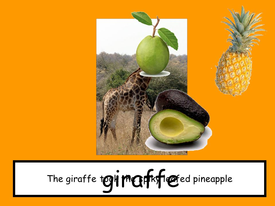 The giraffe took the spiky leafed pineapple
