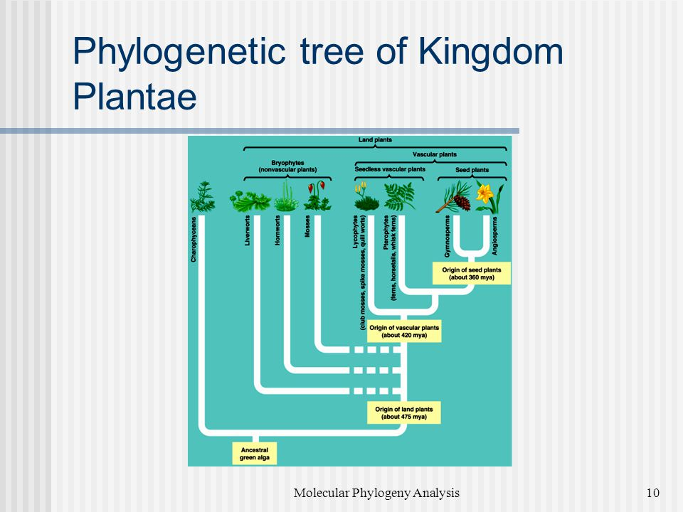 Phylogenetic tree of Kingdom Plantae