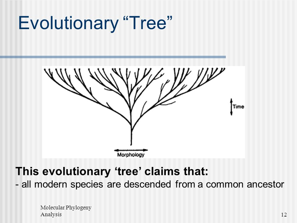 Evolutionary Tree This evolutionary 'tree' claims that: