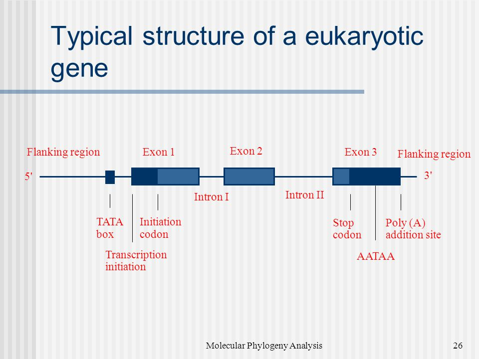 Typical structure of a eukaryotic gene