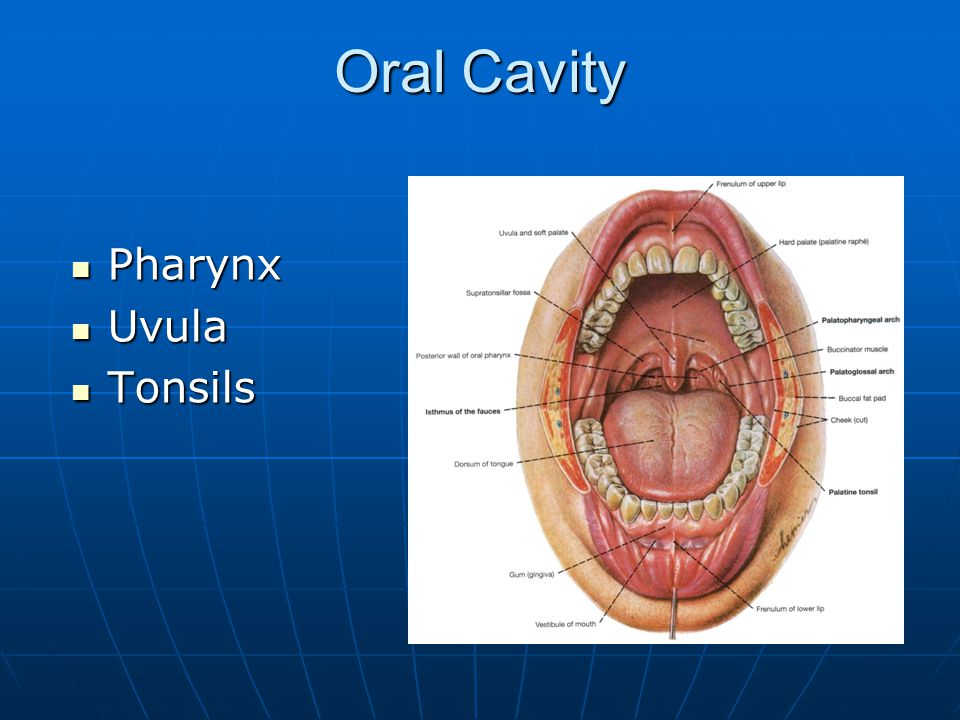 Oral Cavity Pharynx Uvula Tonsils