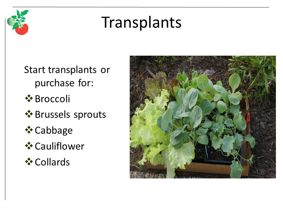Transplants Start transplants or purchase for: Broccoli