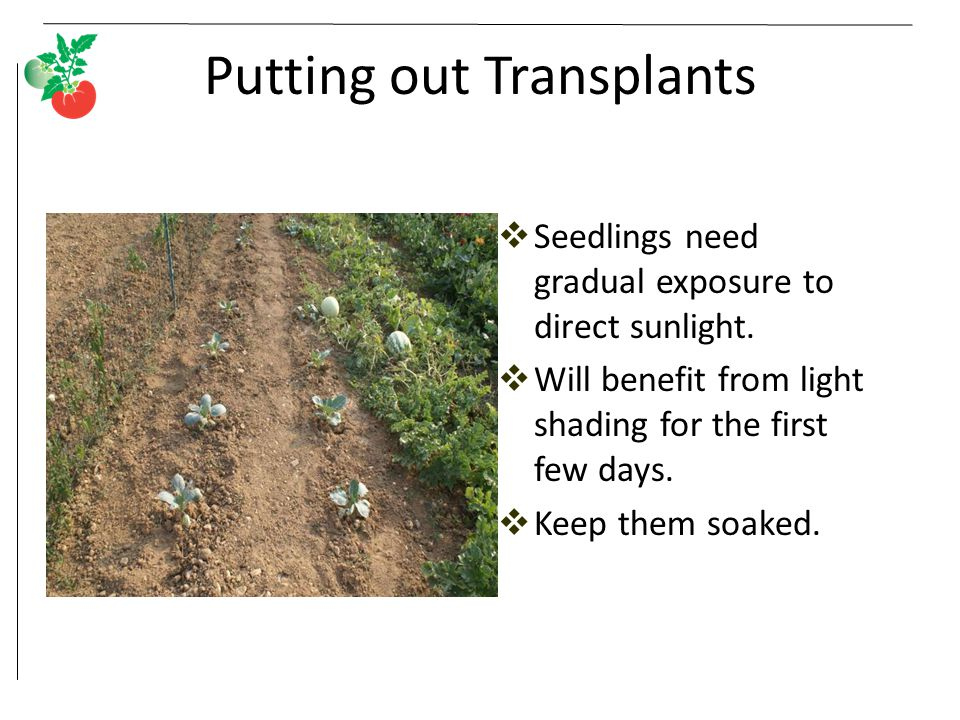 Putting out Transplants