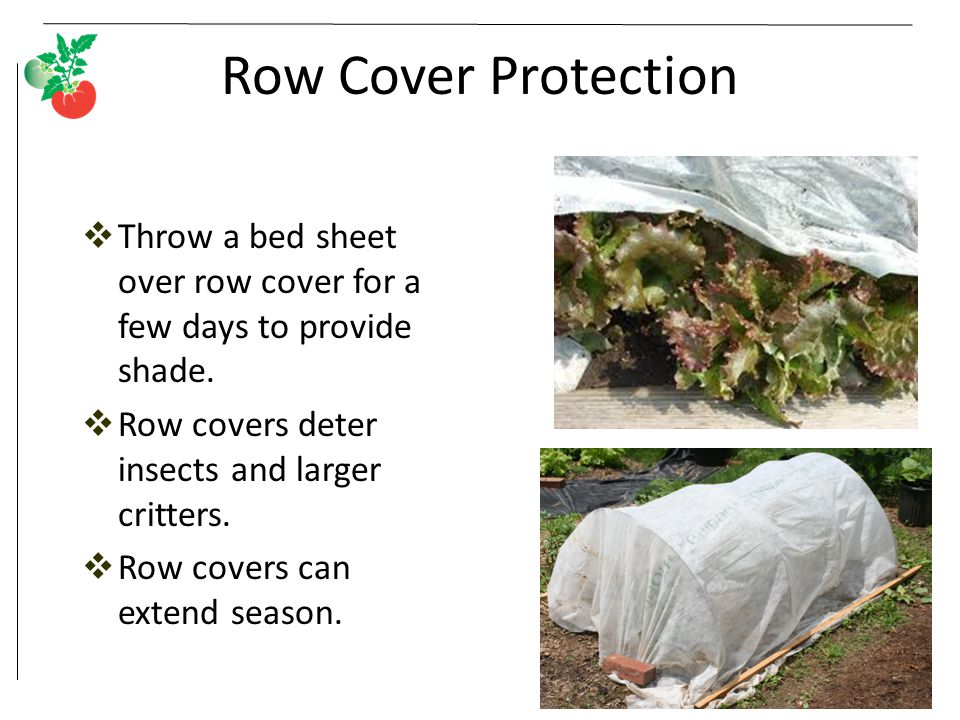 Row Cover Protection Throw a bed sheet over row cover for a few days to provide shade. Row covers deter insects and larger critters.