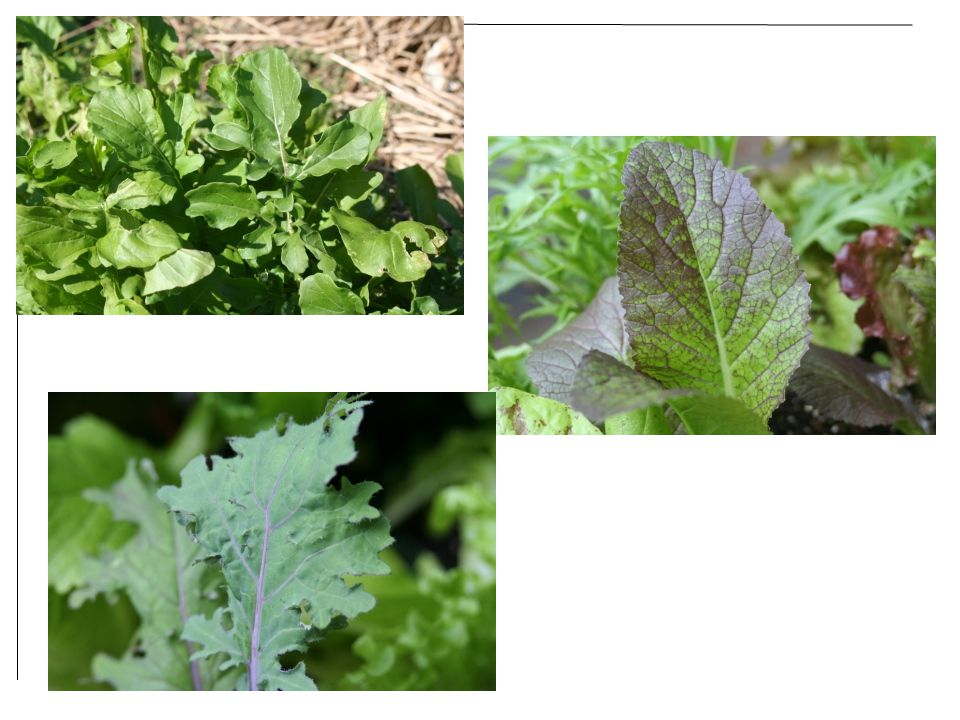 Upper left: arugula Bottom left: Russian red kale Right: Osaka Purple mustard