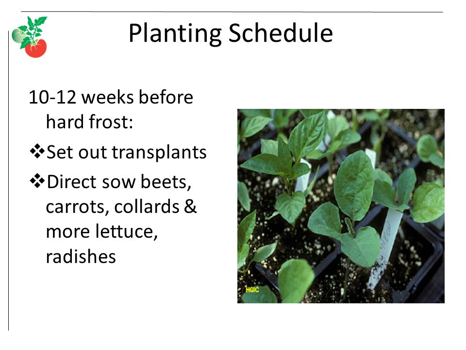 Planting Schedule 10-12 weeks before hard frost: Set out transplants