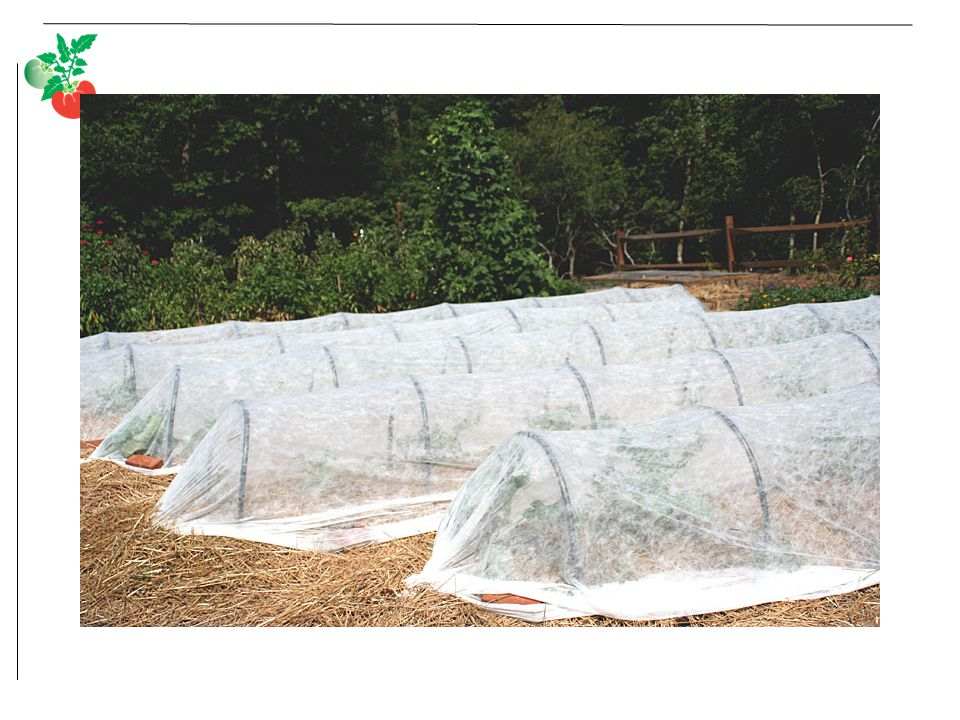 Floating row cover over pvc hoops to protect fall broccoli and cabbage and cauliflower from pests and to accelerate growth.