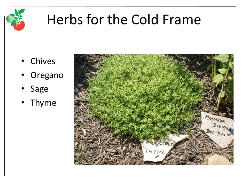 Herbs for the Cold Frame