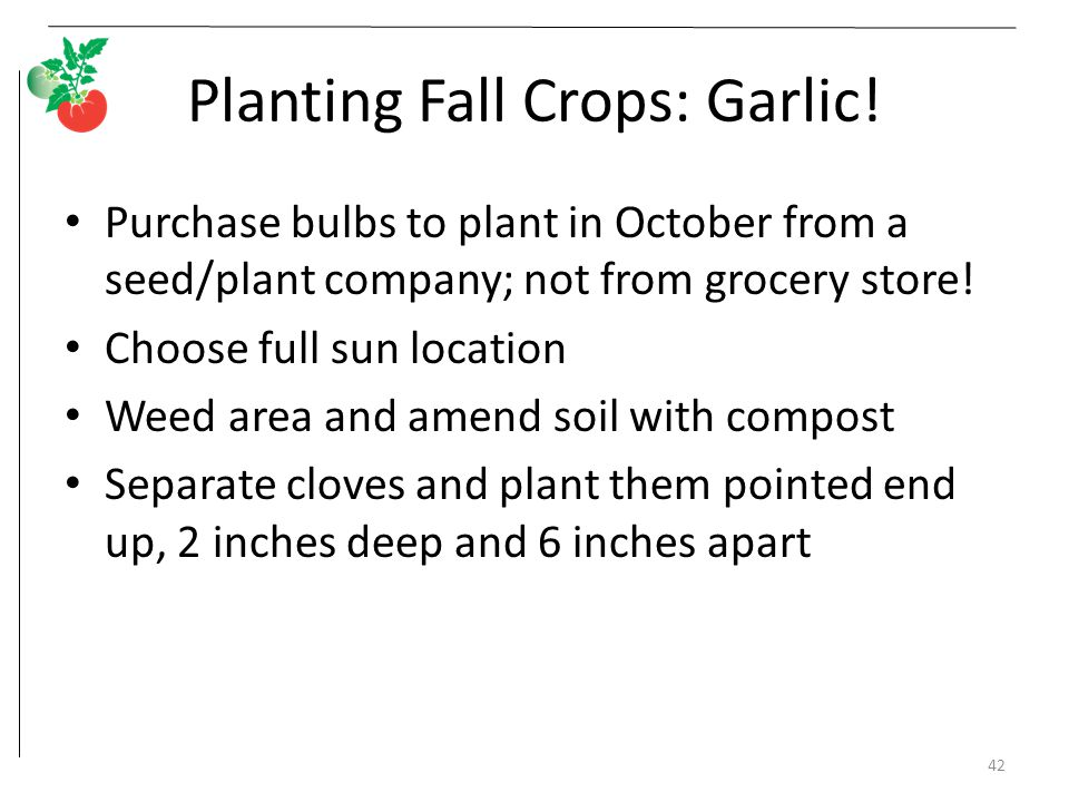 Planting Fall Crops: Garlic!