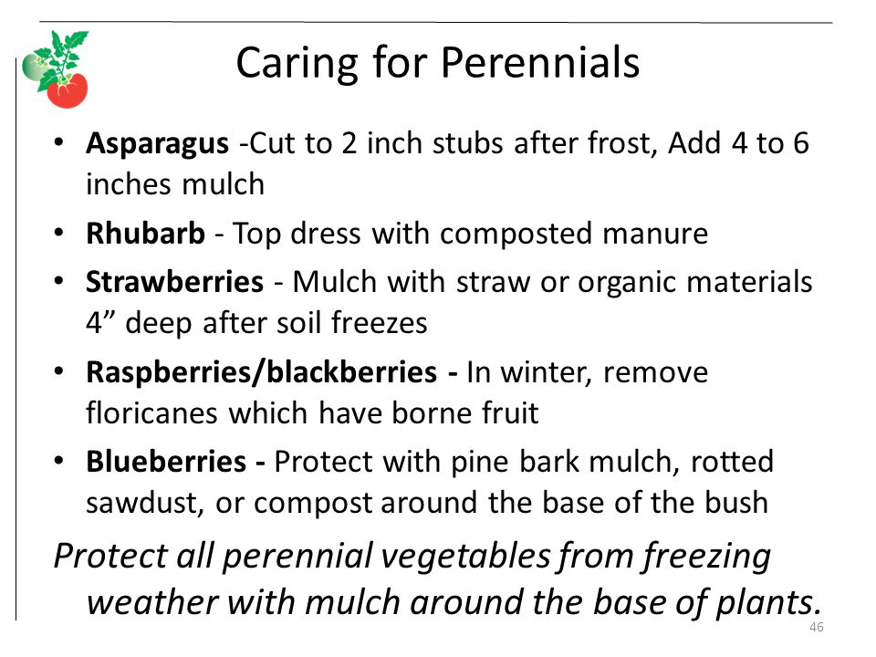 Caring for Perennials Asparagus -Cut to 2 inch stubs after frost, Add 4 to 6 inches mulch. Rhubarb - Top dress with composted manure.