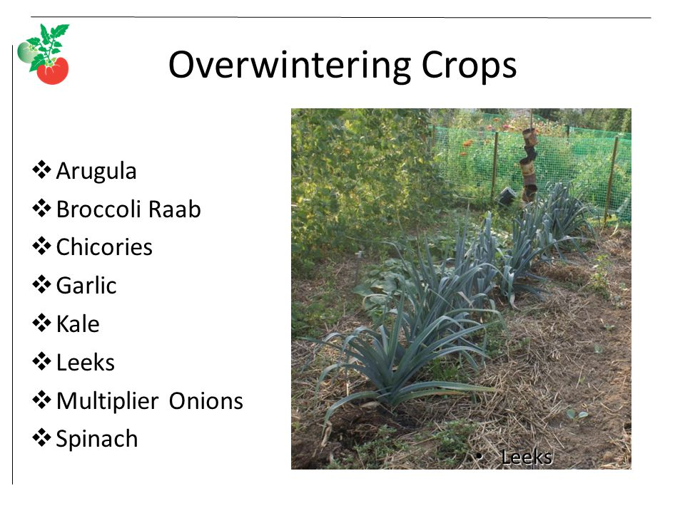 Overwintering Crops Arugula Broccoli Raab Chicories Garlic Kale Leeks