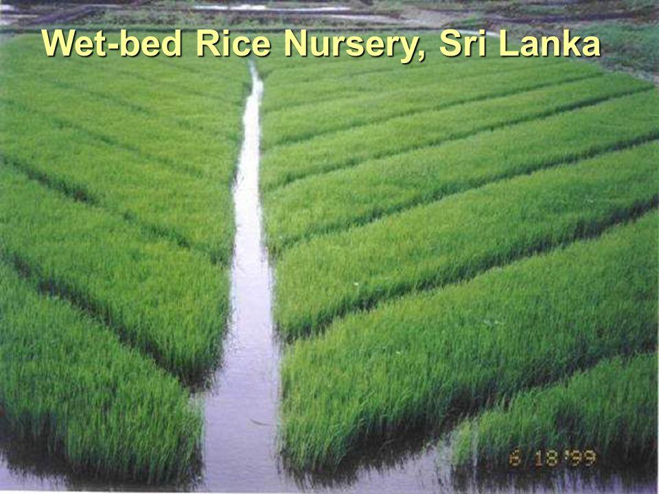 Wet-bed Rice Nursery, Sri Lanka