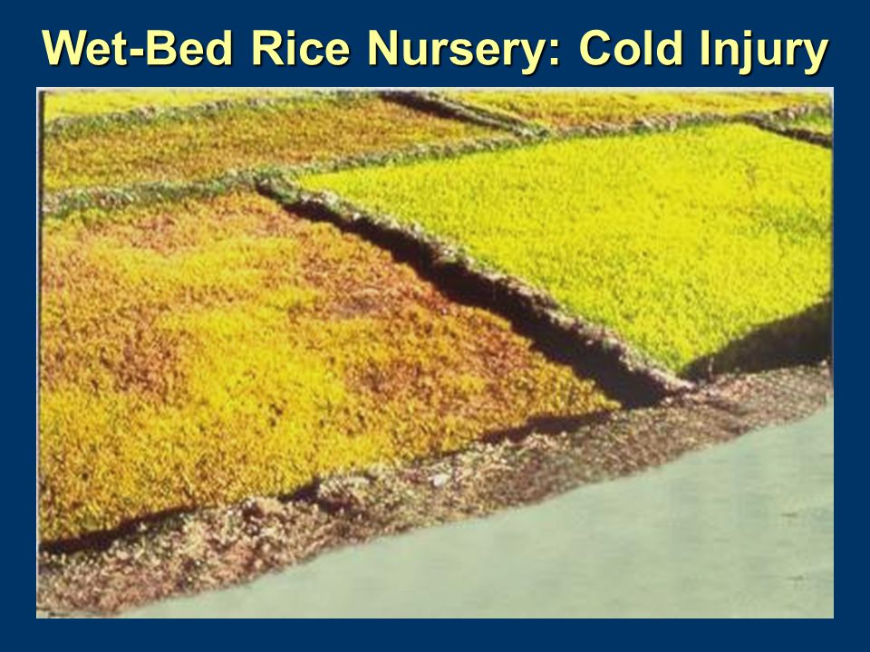 Wet-Bed Rice Nursery: Cold Injury