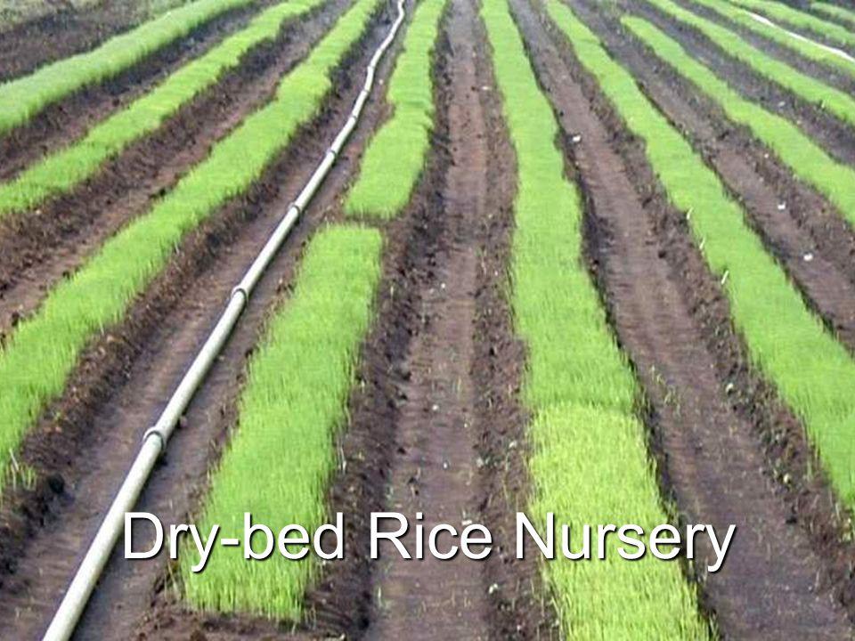 Dry-bed Rice Nursery