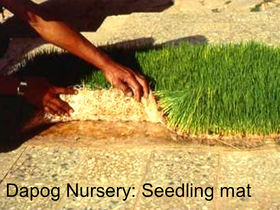 Dapog Nursery: Seedling mat