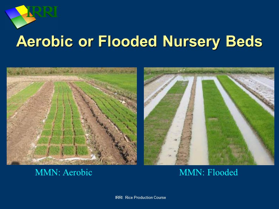 Aerobic or Flooded Nursery Beds