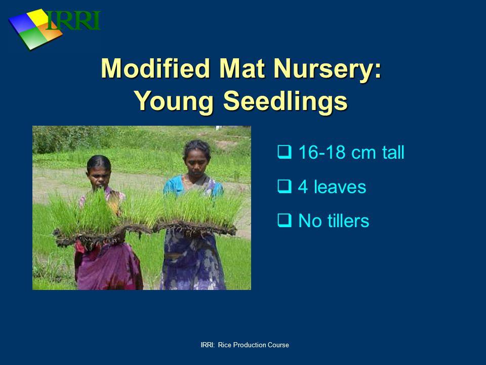 Modified Mat Nursery: Young Seedlings