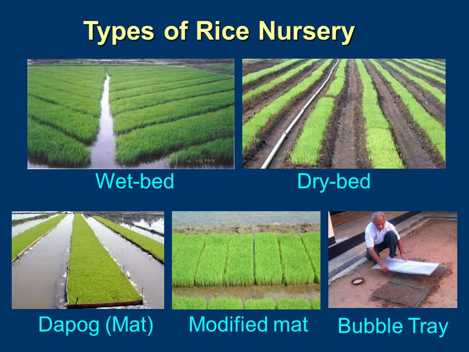 Types of Rice Nursery Wet-bed Dry-bed Dapog (Mat) Modified mat