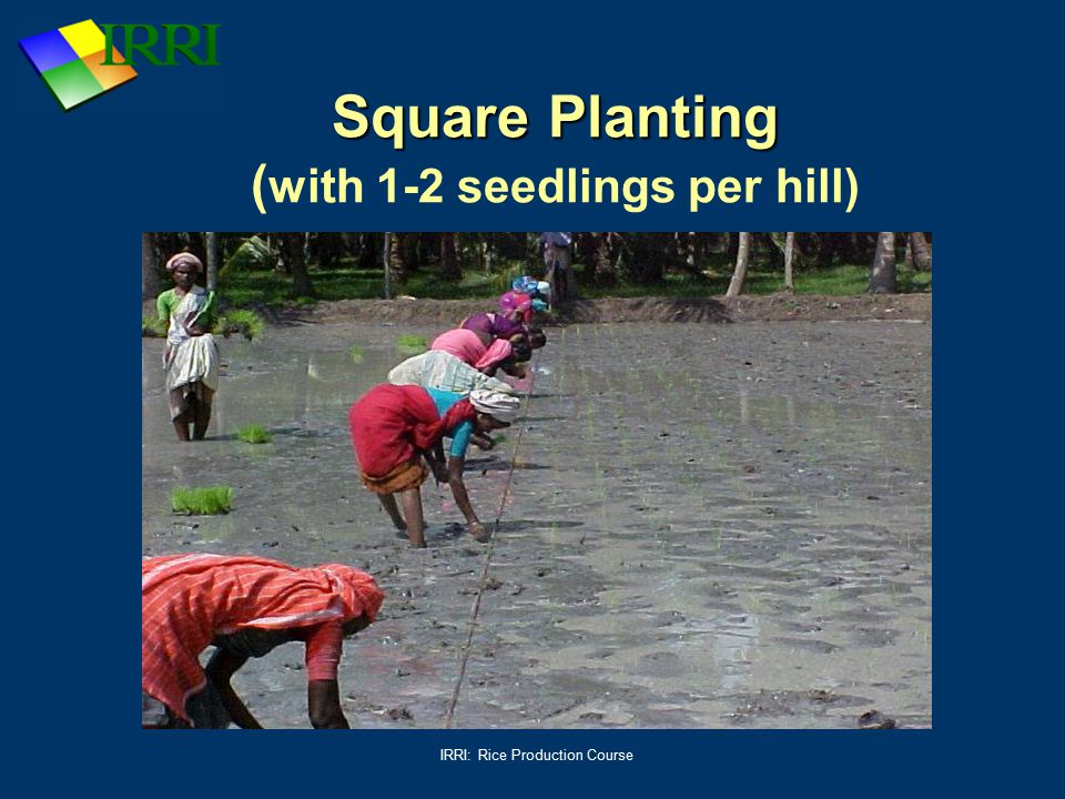Square Planting (with 1-2 seedlings per hill)