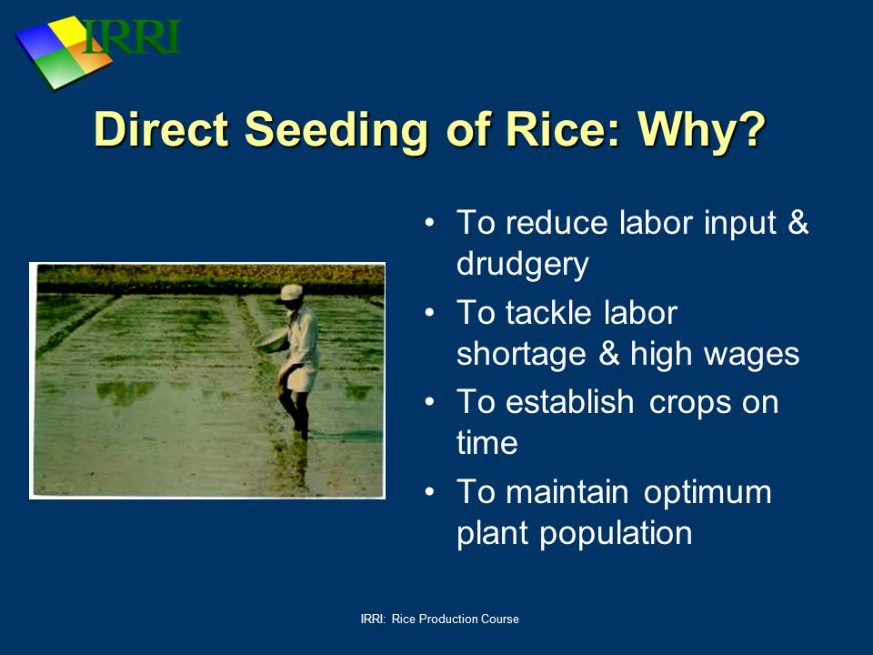 Direct Seeding of Rice: Why