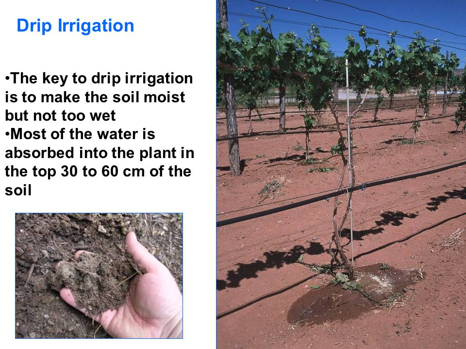 Drip Irrigation The key to drip irrigation is to make the soil moist but not too wet.