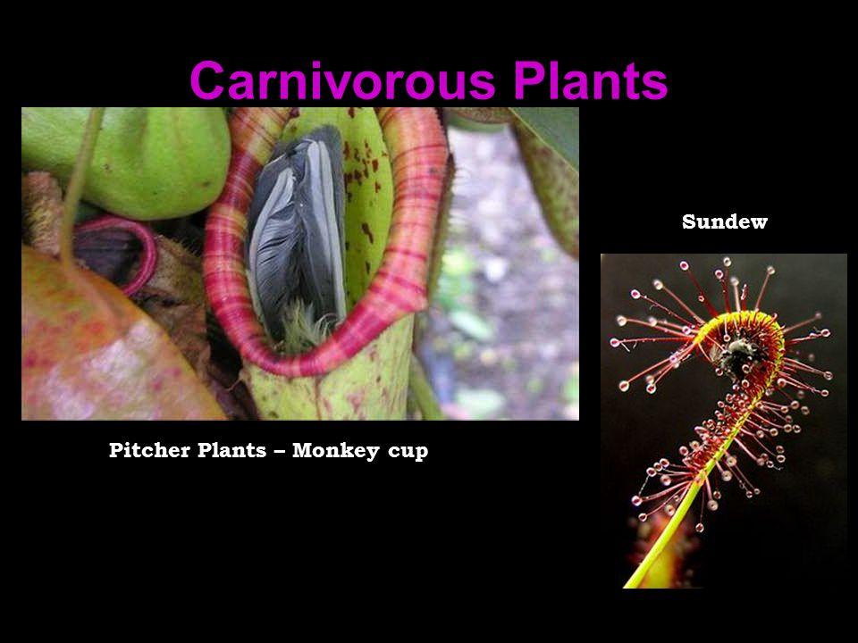 Carnivorous Plants Sundew Pitcher Plants – Monkey cup