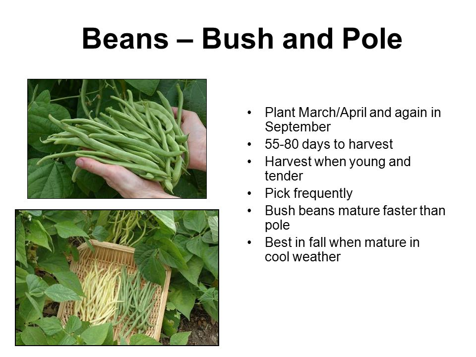 Beans – Bush and Pole Plant March/April and again in September