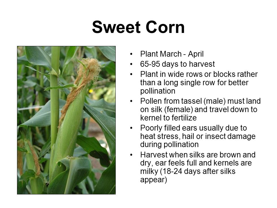 Sweet Corn Plant March - April 65-95 days to harvest