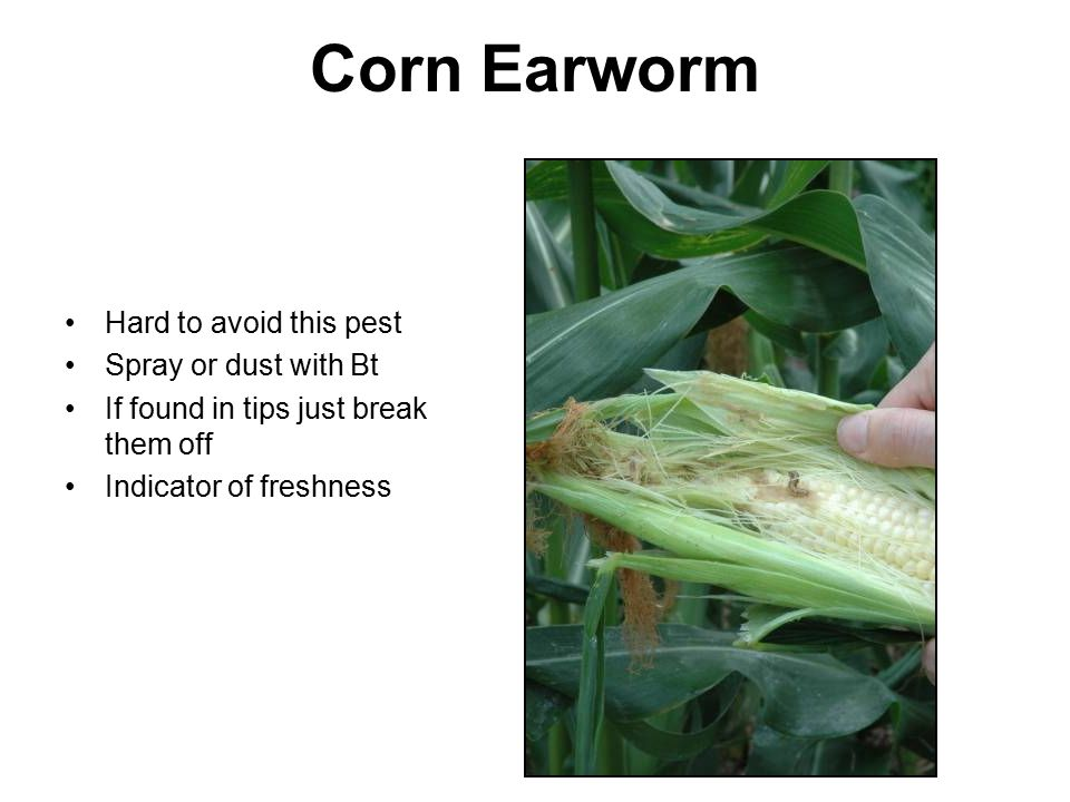Corn Earworm Hard to avoid this pest Spray or dust with Bt