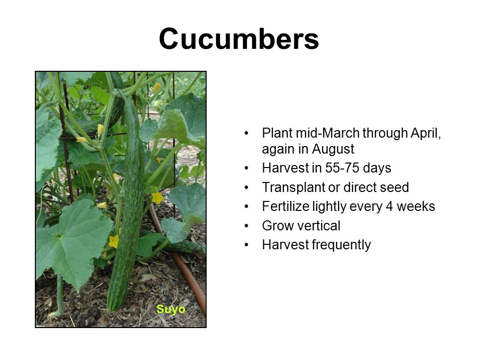 Cucumbers Plant mid-March through April, again in August