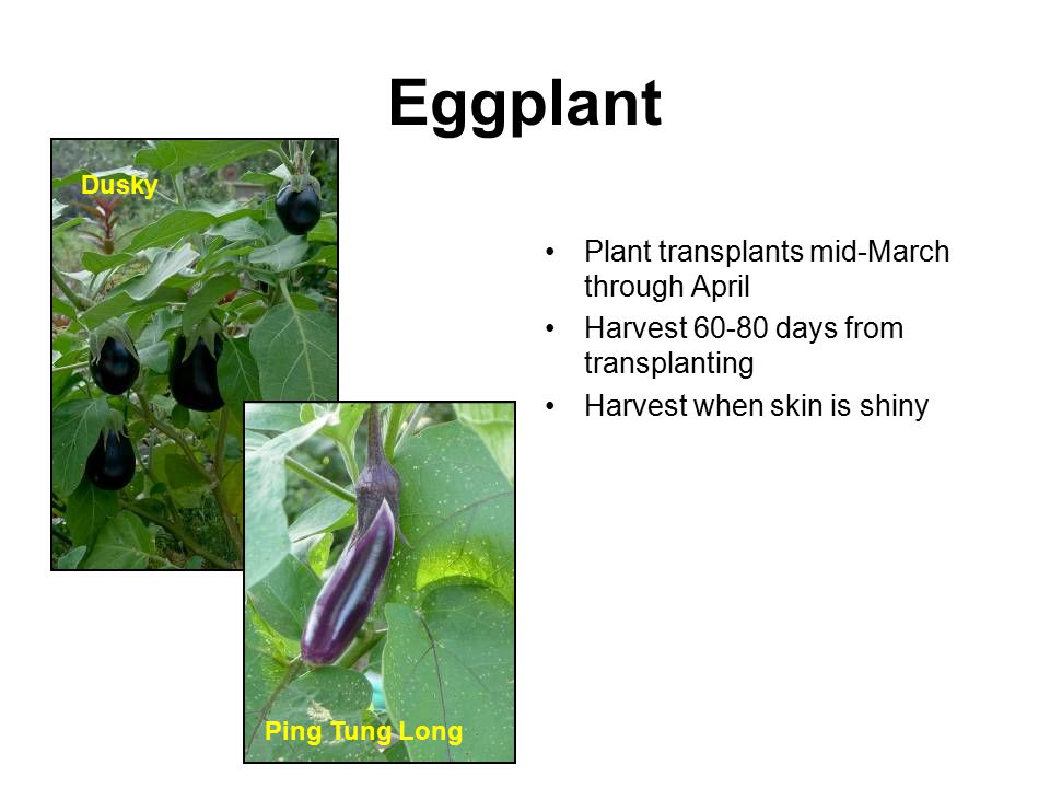 Eggplant Plant transplants mid-March through April