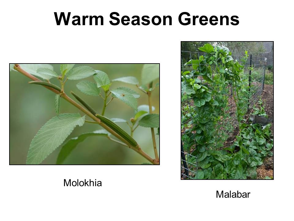 Warm Season Greens Molokhia Malabar