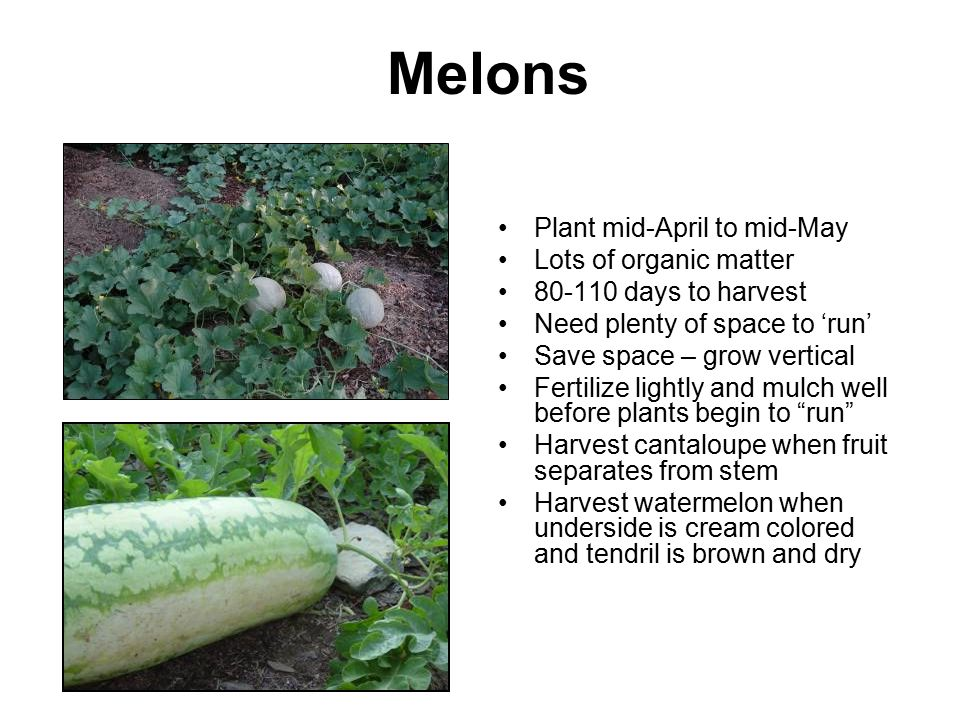 Melons Plant mid-April to mid-May Lots of organic matter