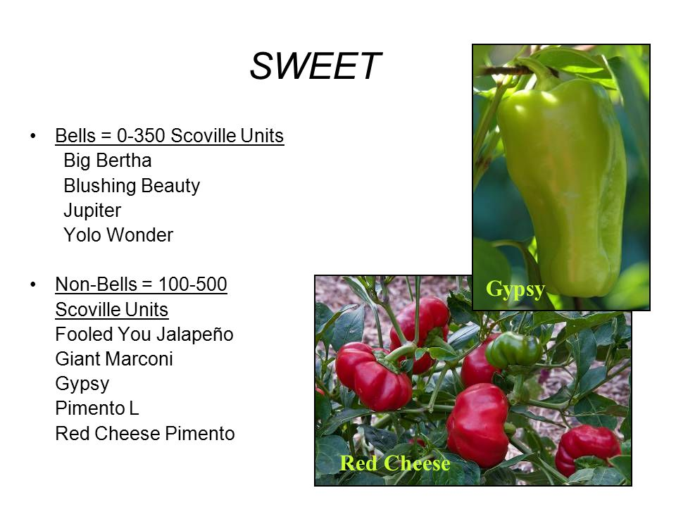 SWEET Gypsy Red Cheese Bells = 0-350 Scoville Units Big Bertha