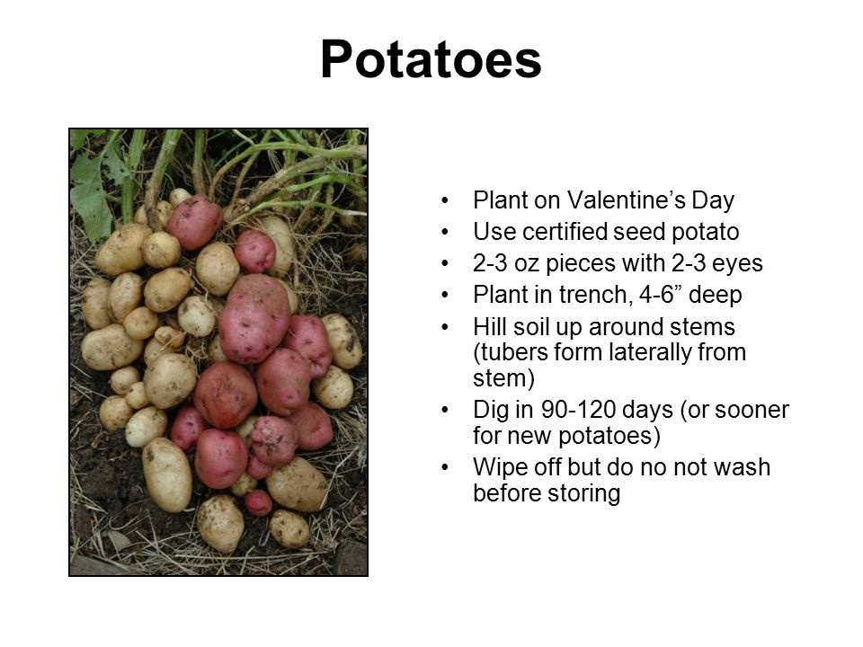 Potatoes Plant on Valentine's Day Use certified seed potato