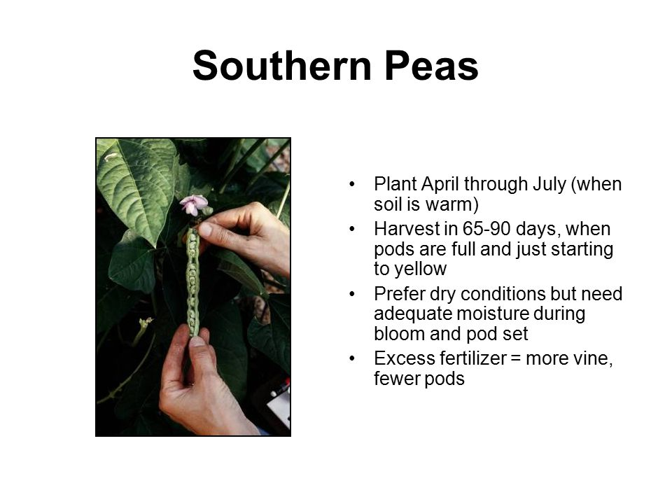 Southern Peas Plant April through July (when soil is warm)