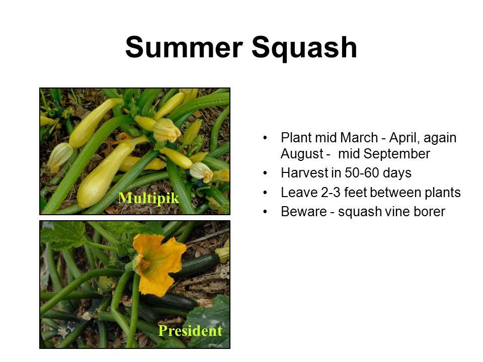 Summer Squash Multipik President