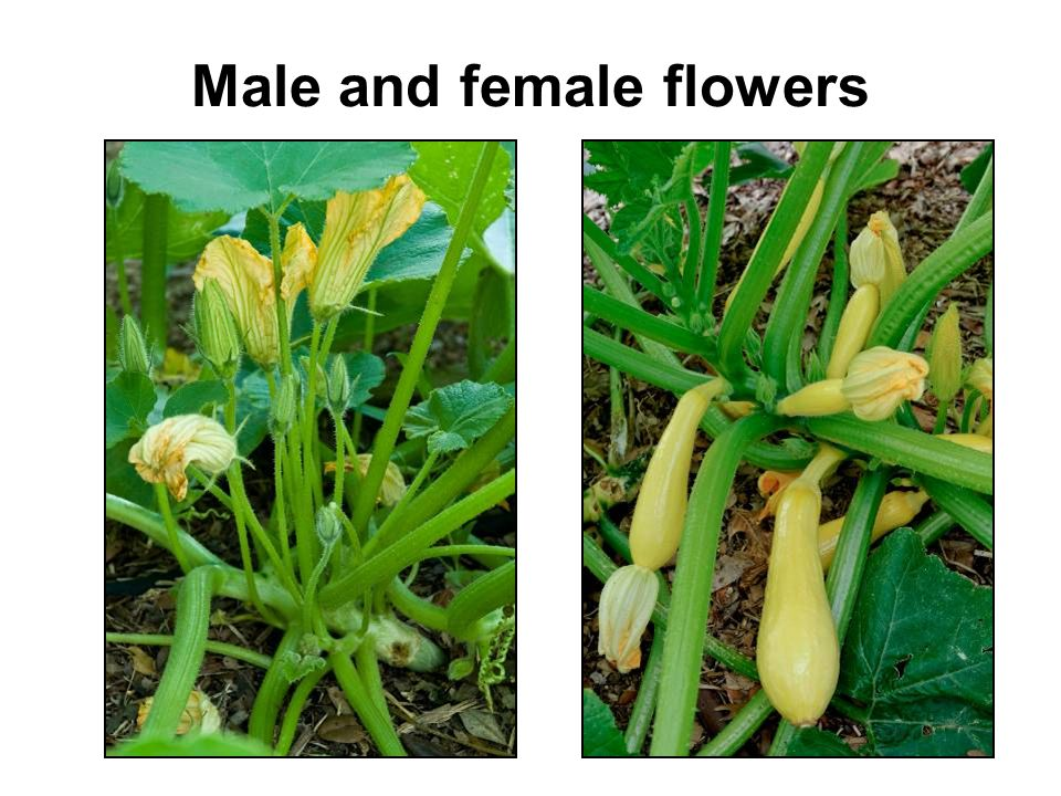 Male and female flowers