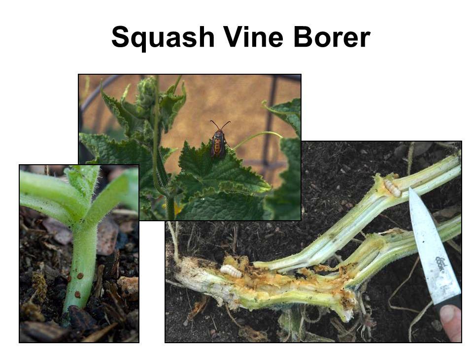 Squash Vine Borer