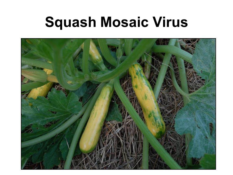 Squash Mosaic Virus