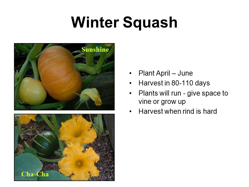 Winter Squash Sunshine Plant April – June Harvest in 80-110 days