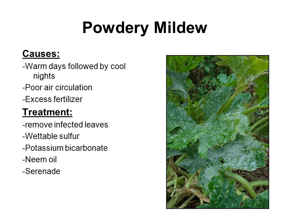 Powdery Mildew Causes: Treatment: -Warm days followed by cool nights