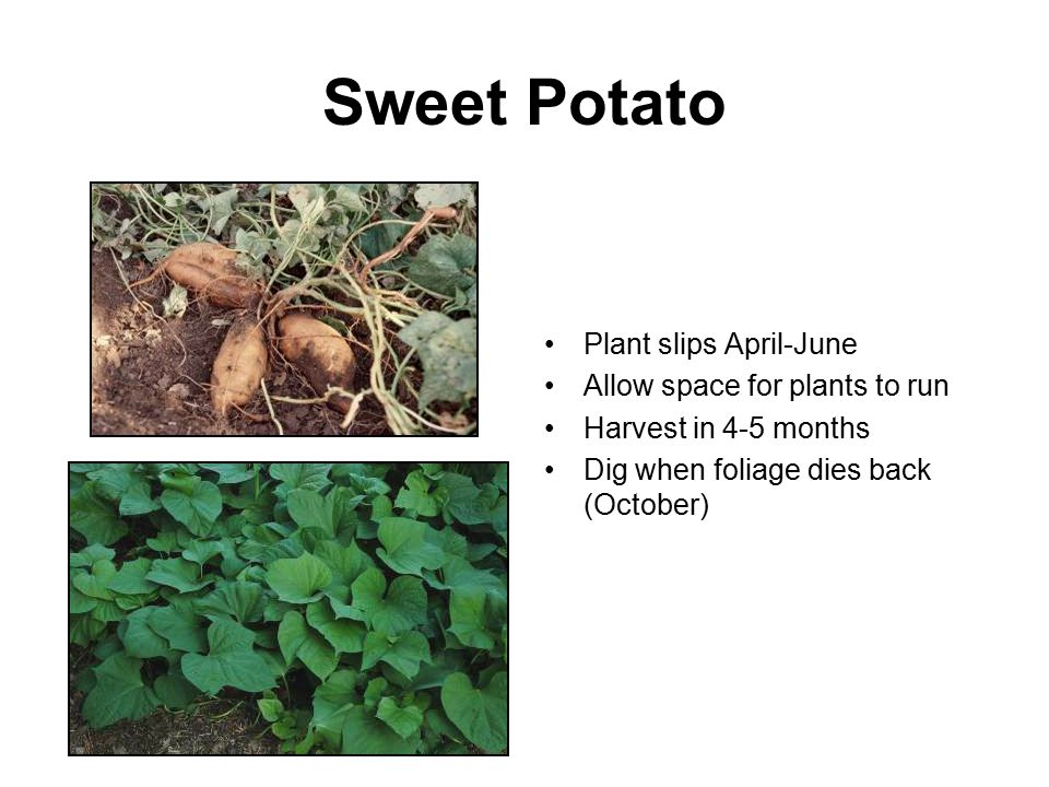 Sweet Potato Plant slips April-June Allow space for plants to run