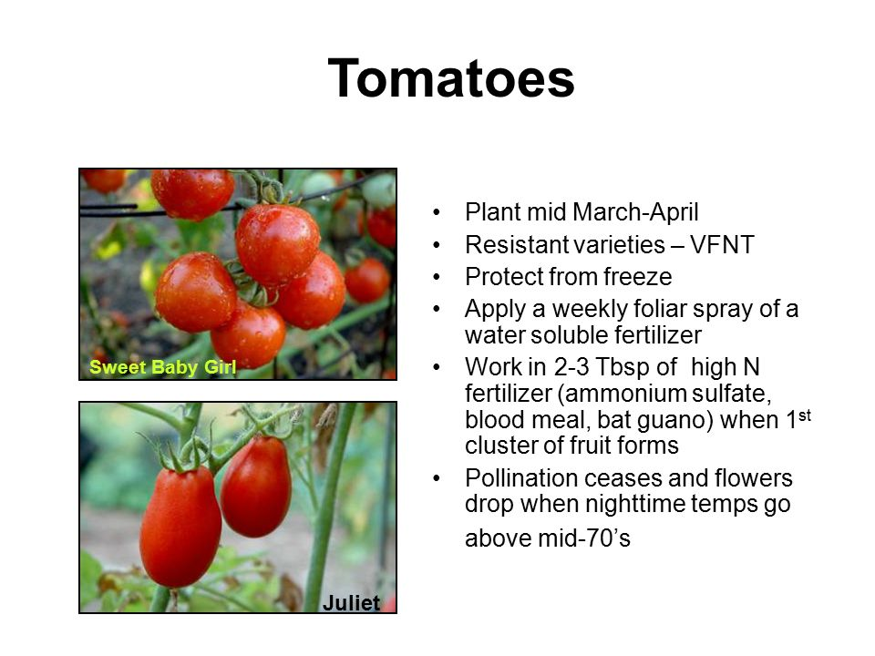 Tomatoes Plant mid March-April Resistant varieties – VFNT